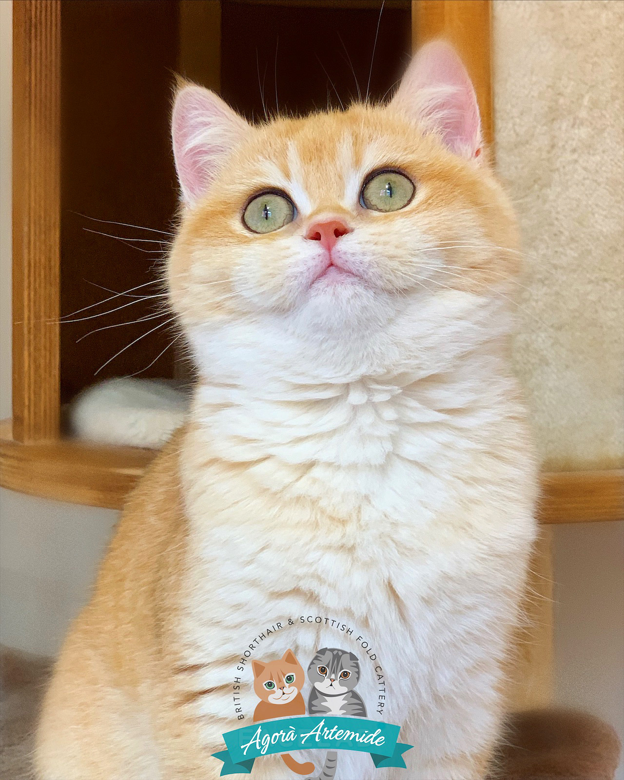 Allevamento Scottish Fold e British Shorthair