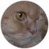 Allevamento Scottish Fold e British Shorthair Agorà Artemide