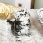 Gatti razza British Shorthair e razza Scottish Fold - Allevamento Agorà Artemide
