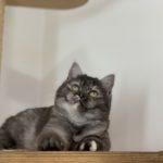 Allevamento Gatti British Shorthair e Scottish Fold Agorà Artemide