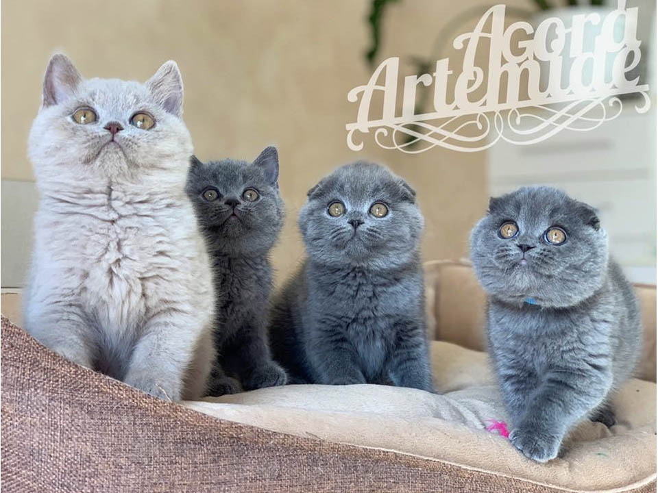 Allevamento Agorà Artemide Scottish Fold e British Shorthair