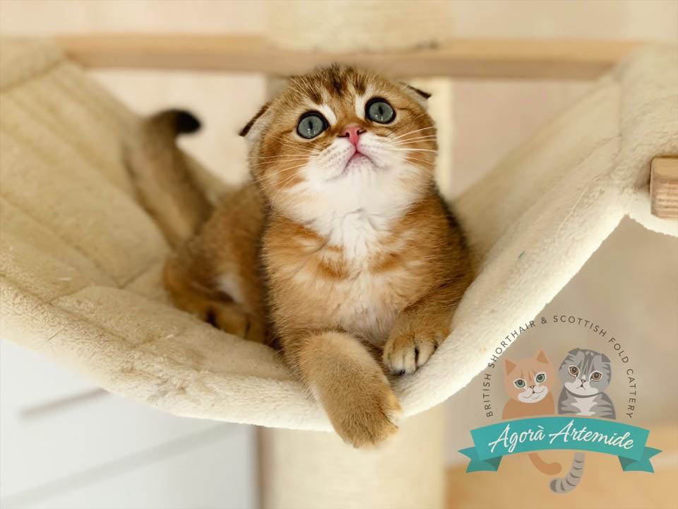 Agorà Artemide Allevamento Scottish Fold e British Shorthair