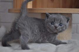 british shorthair one million reasons pedigree agorà artemide