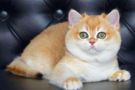 Piometra Gatti British Scottish Fold cuccioli allevamento Pedigree ENFI ANFI veterinario piometra isterectomia cuccioli golden black cuccioli allevamento di razza gattini british scottissh fold straight longhair shorthair